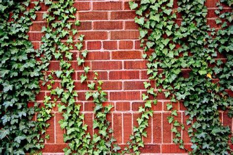 different types of climbing plants how to climbing plants to attach to an arbor or