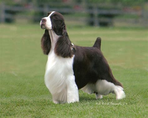 show dogs bench essfta springer spaniel field trial association