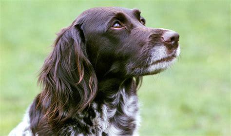 munsterlander puppies small munsterlander breed information