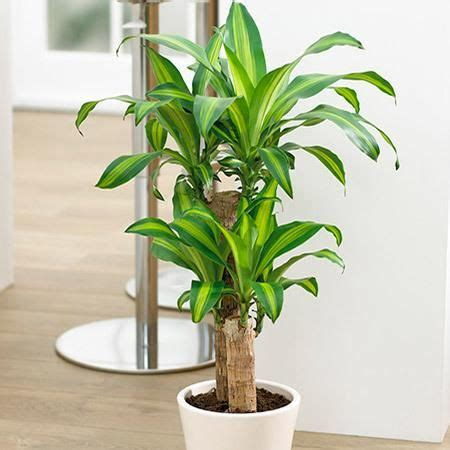 Indoor House Plants Sale by Corn Plant Dracena The O Jays Plants And For Sale