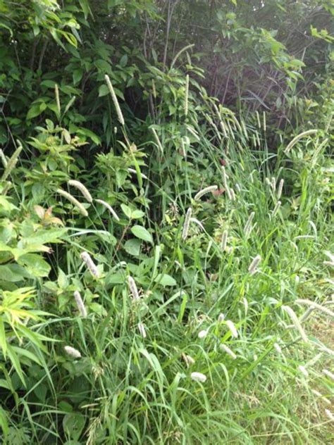 Grass Seeds For Sale by Phleum Pratense Tree Timothy Timothy Grass Seeds