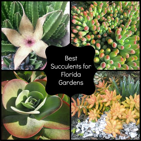 best succulents for florida miss smarty plants