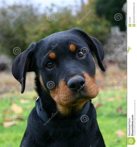 rottweilers time puppy rottweiler stock image image 1727331
