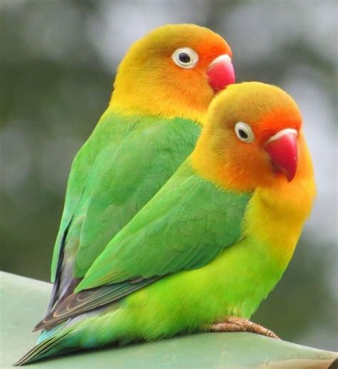 a pair of lovebirds pair lovebirds new tv cage see pics