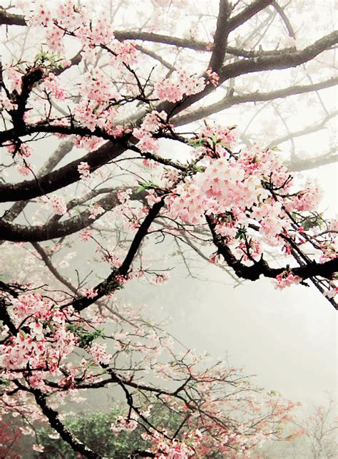 cherry tree b b blackpool cherry blossoms in the mist pink gray mood cherry blossoms cherries and flowers