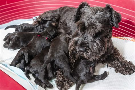 how do dogs carry their puppies petset a website for humans and their best friends