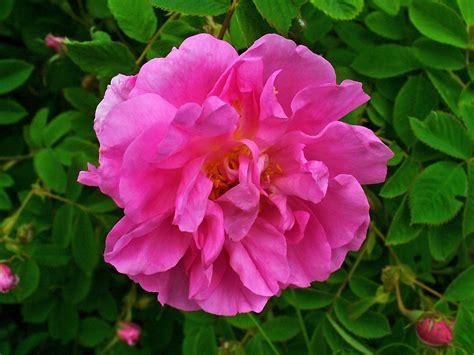 Mawar Slit hydrolat de de damas rosa damascena les lits 233 es