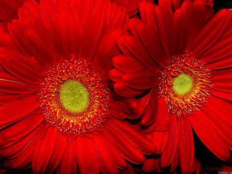 desain bunga matahari 15 manfaat dan khasiat bunga matahari merah untuk
