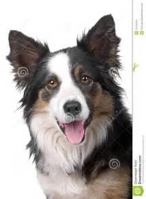Head of a beautiful border collie sheepdog panting isolated on a