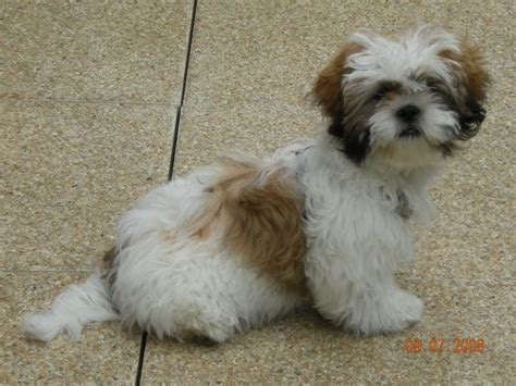 shih tzu forum shih tzu 224 donner forum de discussion sp 233 cialis 233 sur le