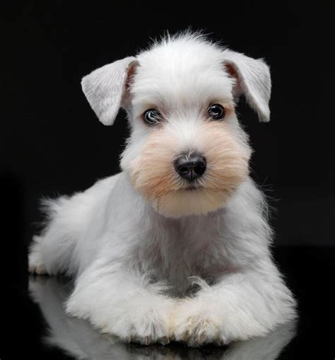 mini schnauzer puppies ohio best 25 miniature puppies ideas on miniature dogs poodle mix puppies and