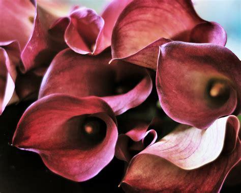 how to make cut calla lilies last longer flower