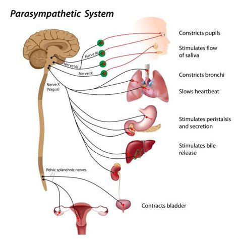 diagram of the vagus nerve vagus nerve and stress human nature early experience