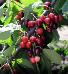 cherry tree usda zone trees with fruit on fruit trees fig tree and cherry tree