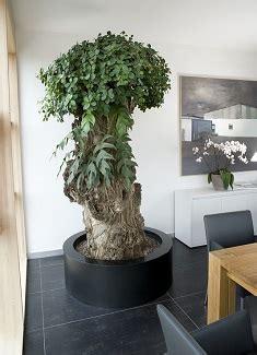 Ficus Interior Plantas Interior Oficina Proyecto Verde Comprar Online