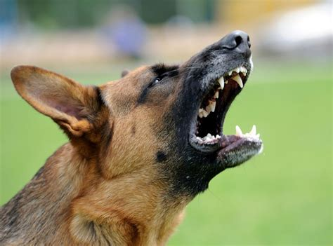 can dogs attacks when dogs attack a veterinarian s perspective