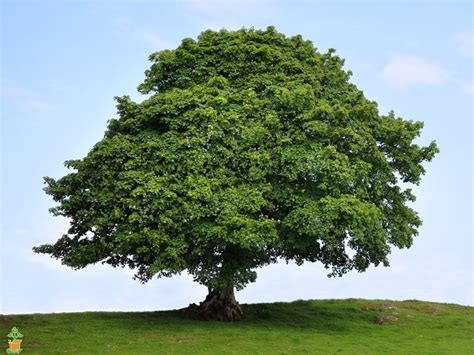 american sycamore american sycamore tree for sale the planting tree
