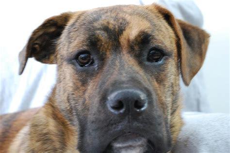 boxer german shepherd mix puppies boxer german shepherd mix shepherd boxer mix