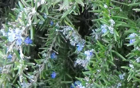 fiori rosmarino significato rosmarino nel linguaggio dei fiori