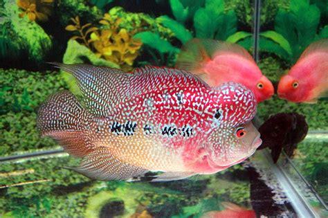 Pakan Khusus Ikan Louhan cara memelihara ikan louhan agar cepat jenong aengaeng