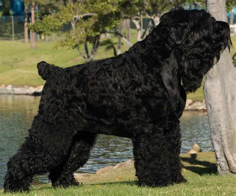 large black breeds large breeds list of all large sized dogs dogs big breeds