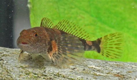freshwater sculpin fish