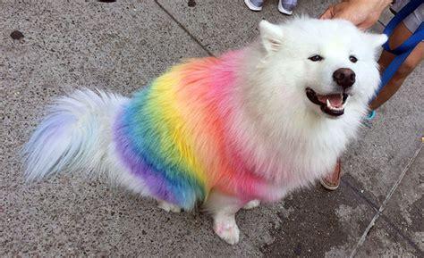 samoyed colors samoyed colors samoyed dogs puppies care information breeds