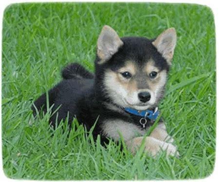 black and shiba inu puppy shiba inu puppy puppies pet photos gallery az3wm1akrj