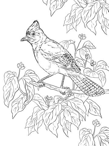 Realistic Steller's Jay coloring page | SuperColoring.com