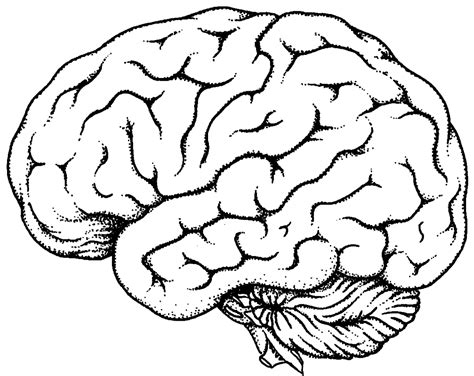 brain colored lines brain line drawing clipart best