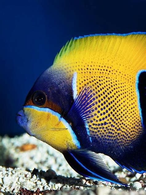 colorful saltwater fish colorful saltwater aquarium fish