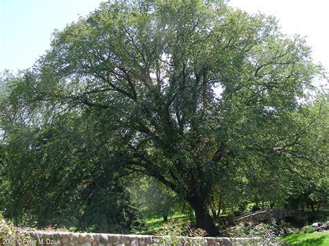 ramsey county half section maps ulmus americana american elm minnesota wildflowers