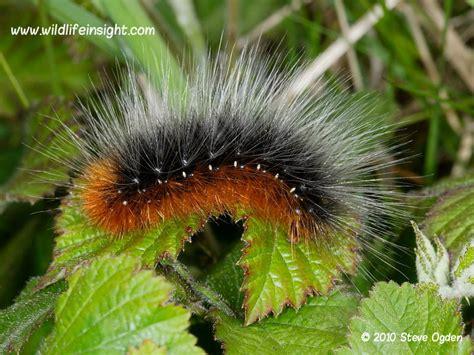 Garden Tiger Moth by Garden Tiger Moth And Caterpillar Arctia Caja Wildlife