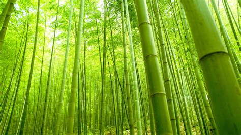 bamboo cay the of the bamboo tree justin su a medium