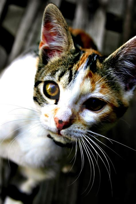 naming your calico cat name ideas for calico cats page 1 related keywords suggestions for male calico