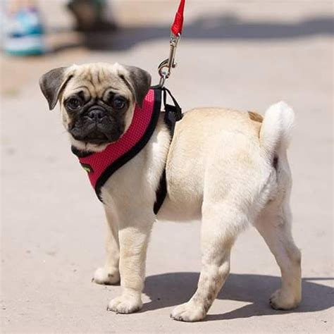 most popular pug names top 2000 names camilla castro