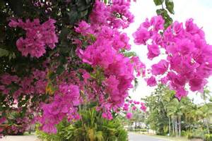 Flowering Tropical Shrubs - tropical flowers from port douglas cherryandme