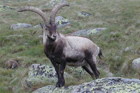 Ca Bra by Iberian Ibex