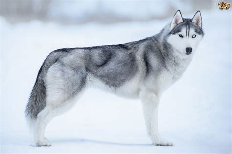 A Few Myths about the Siberian Husky Dispelled   Pets4Homes