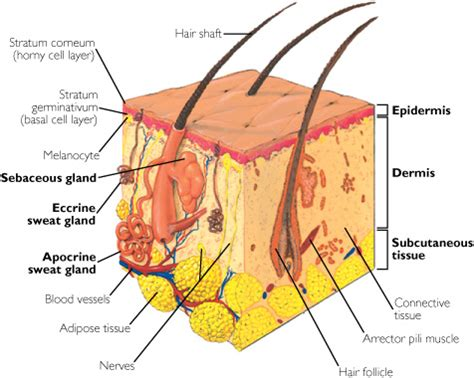 diagram of the dermis dermis definition from answers