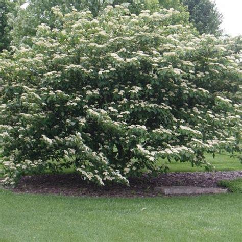 cornus alternifolia pagoda dogwood