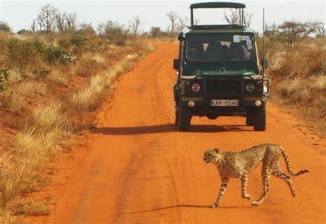 Syari Kanita file safari gepard tsavo kenia 02 jpg wikimedia commons