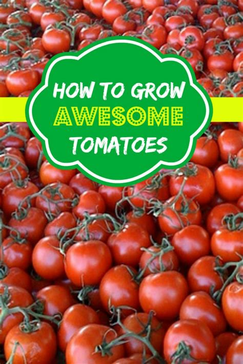 how to grow awesome tomatoes moms need to know