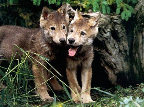 wolf puppies wolf pups wolves wallpaper 7896864 fanpop