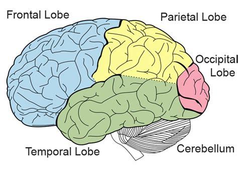 brain lobes diagram structure of the brain