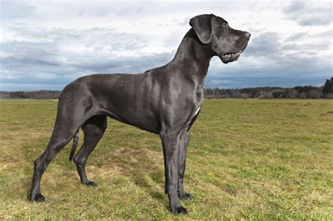 great dane dog house great dane how to deal with this outstanding dog animalso