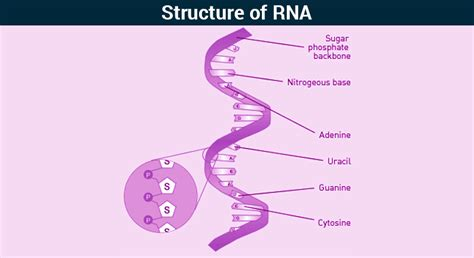 rna structure diagram rna structure of rna types of rna functions of rna