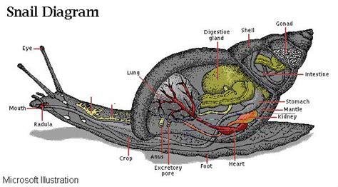 snail diagram snails aquaticheaven