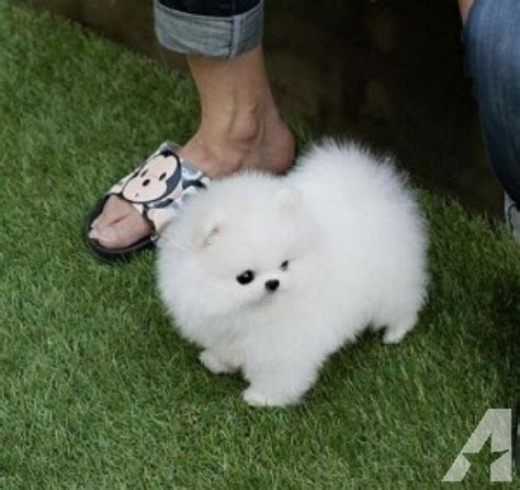 pomeranian akc breeders pomeranian akc ckc puppies for sale in salt lake city utah classified
