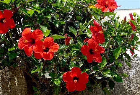 red stain hibiscus by kisaragichiyo on deviantart